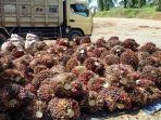 sekitar-15-ton-buah-sawit-yang-dicuri-ismail-23-ardani-25-dan-aliansyah-26_20161212_160812.jpg
