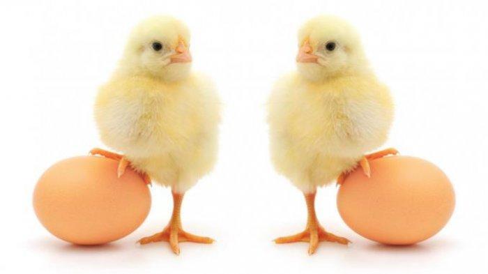 KUNCI JAWABAN Tema 7 Kelas 2 SD Subtema 2, Bagaimana Sikap Ayam Terhadap Kiki & Kiku dalam Dongeng?