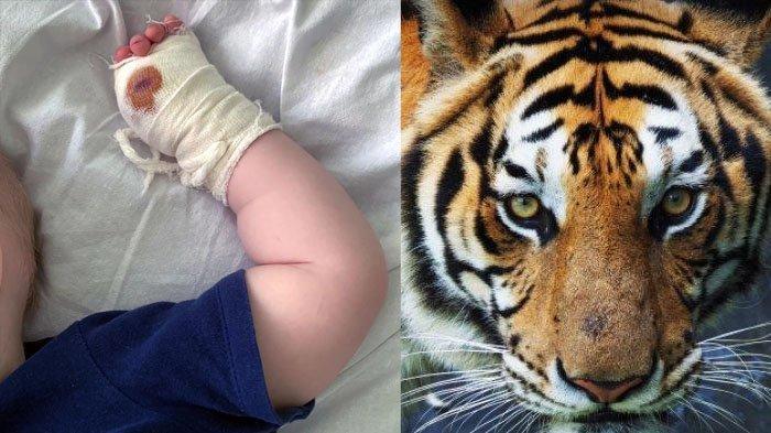 IBU Teledor Gendong Bayi Terlalu Dekat Kandang, Jempol Tangan Anak Putus Dicakar Harimau, Terlambat!
