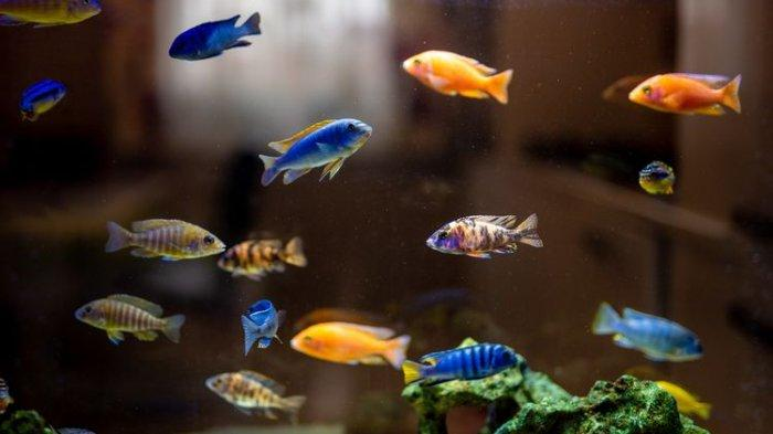 Makin 'Ambruk' setelah 10 Tahun Jualan Patin, Rambah Bisnis Ikan Hias, IRT Ini Malah Untung Jutaan