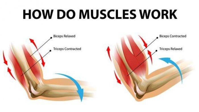 Cara kerja otot pada manusia.