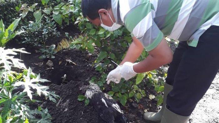 Di Tengah Pandemi Corona, Flu Burung Dikabarkan Kembali Muncul di Bondowoso Setelah Hilang 9 Tahun