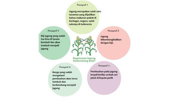 SOAL & KUNCI JAWABAN Tema 1 Kelas 6SD Halaman 1-16, Baca Teks 'Bagaimana Jagung Berkembang Biak?'