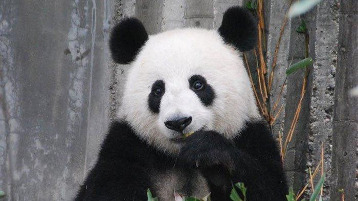 Fakta Unik Ini Jarang Diketahui: Panda Bisa Palsukan Kehamilan hingga Peran Ratu Elizabeth di PD II