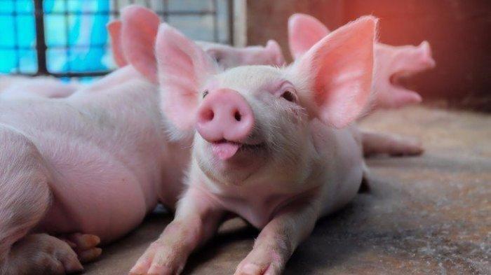 Belum Selesai dengan Covid-19, Kini Muncul Flu Babi Baru Bernama G4 di China, Bisa Jadi Pandemi!