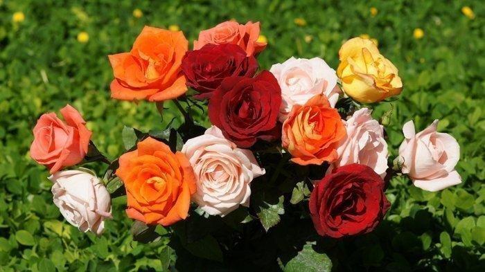 SOAL & KUNCI JAWABAN Latihan UAS dan PAS Bahasa Indonesia Kelas 3 SD, Urutan menanam bunga mawar