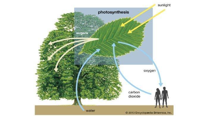 Ilustrasi fotosintesis pada tumbuhan