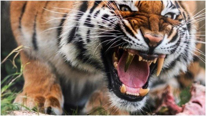 Ilustrasi harimau ngamuk
