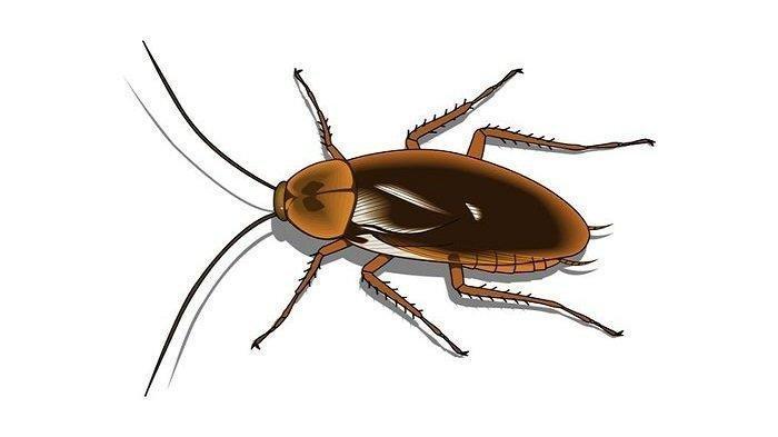 Banyak Kecoa Berkeliaran di Rumah? Berikut 6 Bahan dan Cara Ampuh untuk Mengusirnya