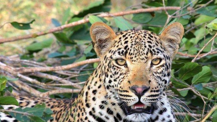 Ilustrasi macan tutul