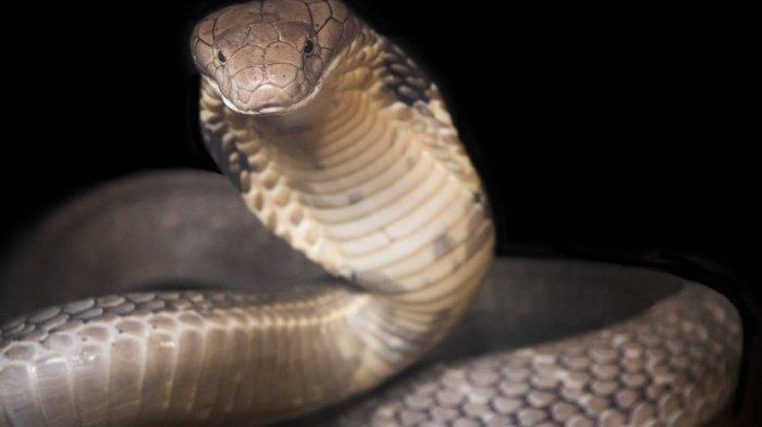 Ilustrasi, pria di India bunuh istri dengan ular kobra