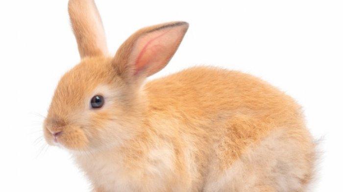 SOAL & KUNCI JAWABAN Latihan UAS dan PAS Bahasa Inggris Kelas 7 SMP, Does Rabbit Has Short Teeth?