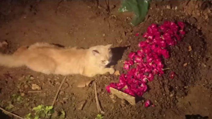 VIRAL Kucing Oren Sedih Ditinggal Saudara untuk Selamanya, Terdiam di Samping Kuburan Bertabur Bunga