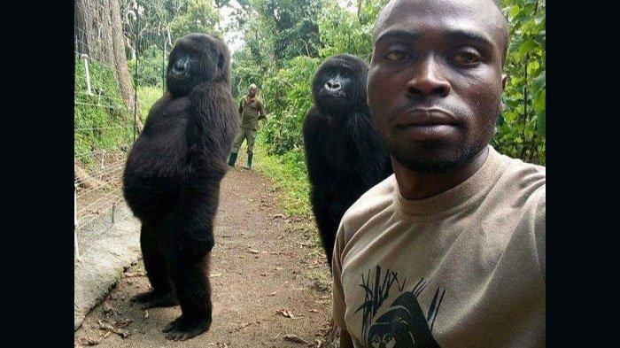 Warganet Berduka, Gorila Ndakasi Sempat Viral Lakukan Photobomb, Kini Mati di Pelukan Pawangnya