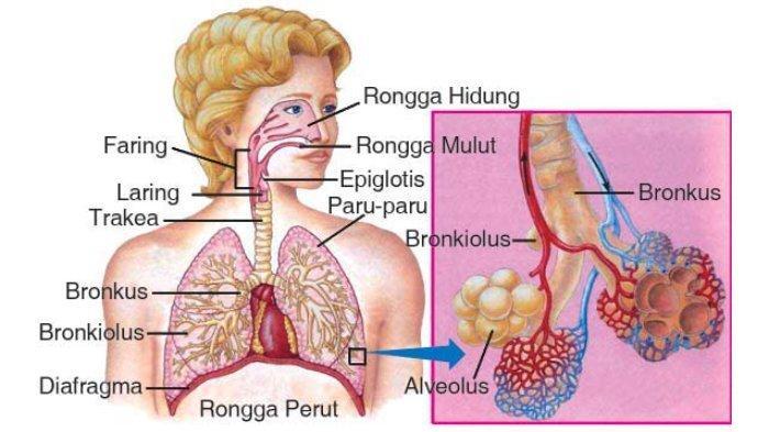 Mengenal Jenis-jenis Sistem Organ pada Manusia, Ada 10 Macam, Berikut Penjelasan Lengkapnya!