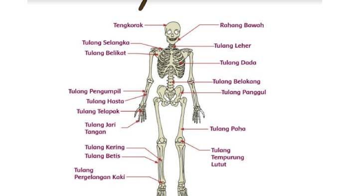 KUNCI JAWABAN Tema 1 Kelas 5 SD Halaman 68 Tentang Tulang Manusia, Ini Fungsi-fungsi Lengkapnya