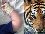 bayi-korban-serangan-harimau.jpg