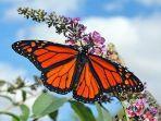 ilustrasi-kupu-kupu.jpg