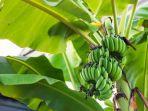 ilustrasi-pohon-pisang.jpg