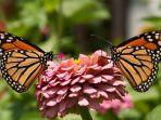 simbiosis-mutualisme-antara-kupu-kupu-dan-bunga.jpg