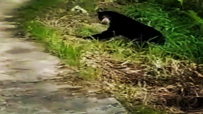 Breaking News: Beruang Serang Warga di Sumpur Kudus Sijunjung