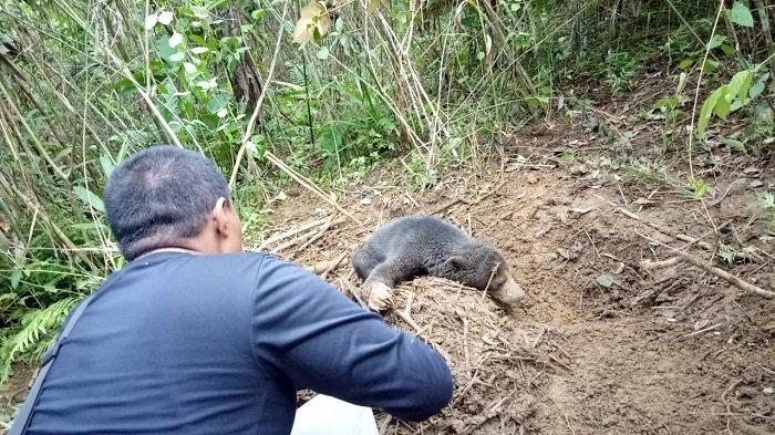 Beruang Serang Warga di Sijunjung, Mulut Korban Luka Parah, Diserang Saat Cari Petai di Hutan