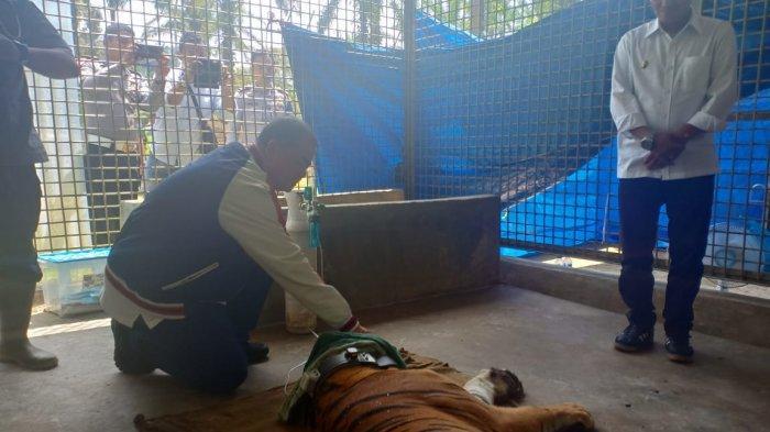 Ingat Bonita Harimau Sumatera yang Terkam 2 Warga di Riau Awal 2018 lalu? Begini Nasibnya Sekarang