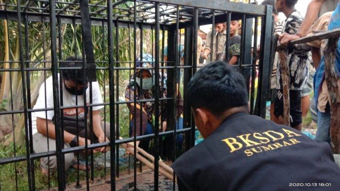 BKSDA Sumbar memasang 2 perangkap buaya di Nagari Aia Bangih, kecamatan Sungai Beremas, Kabupaten Pasaman Barat, Sumatera Barat, Rabu (14/10/2020).