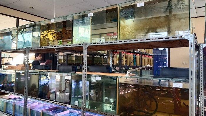Geliat Bisnis Ikan Cupang di Masa Pandemi Covid-19 di Padang