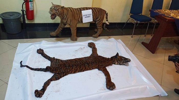 Kulit dan Tengkorak Harimau Ditemukan di Toko Barang Antik di Bukittinggi, Pemiliknya Ditangkap
