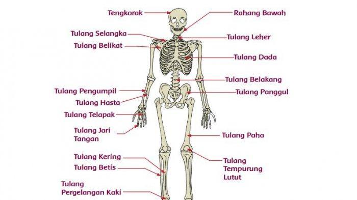 Fungsi Tulang Hasta, Tulang Atas hingga Tulang Pergelangan Kaki, Jawaban Tema 1 Kelas 5 Halaman 68