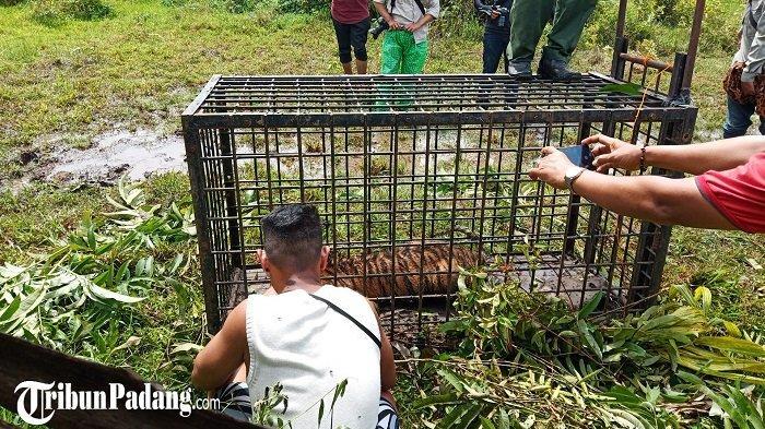 Nasib Youtuber yang Coba Ambil Kumis Harimau di Padang Pariaman, BKSDA akan Panggil Pelaku