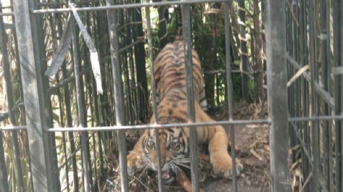 Kanti Marama Jadi Nama Harimau Sumatera yang Ditangkap di Pasaman Barat, BKSDA Bawa ke Bukittinggi