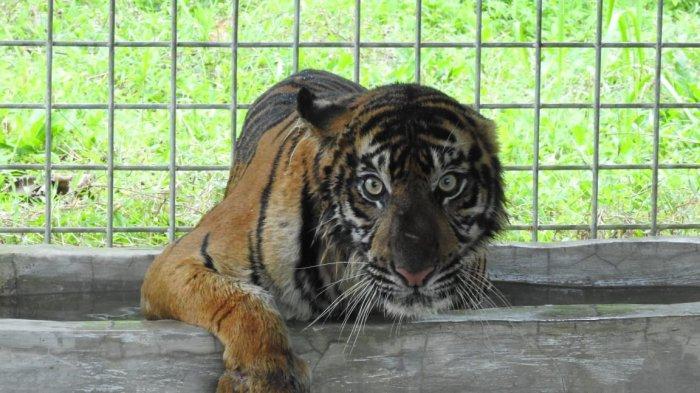 Harimau Sumatera yang Serang Warga di Siak Riau Dibawa ke Pusat Rehabilitasi di Dharmasraya