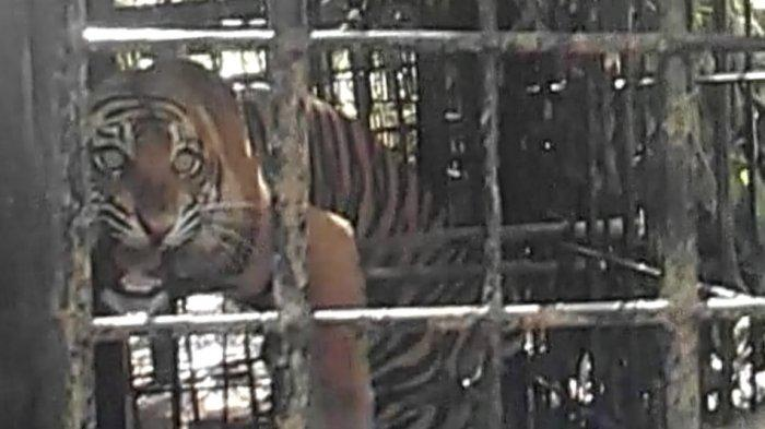 Harimau Sumatera di Solok yang Masuk Perangkap Besi akan Dibawa ke PR-HSD di Dharmasraya