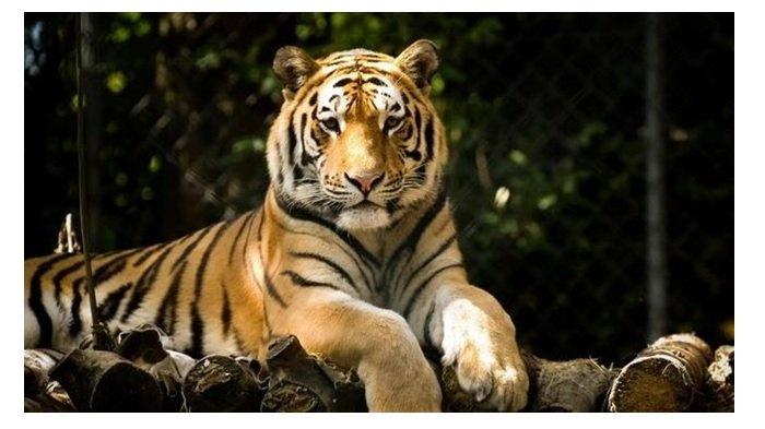 Harimau Berkeliaran di Kebun Sawit Kabupaten Pasaman Barat, Karyawan PT PMS Tak Berani Beraktivitas