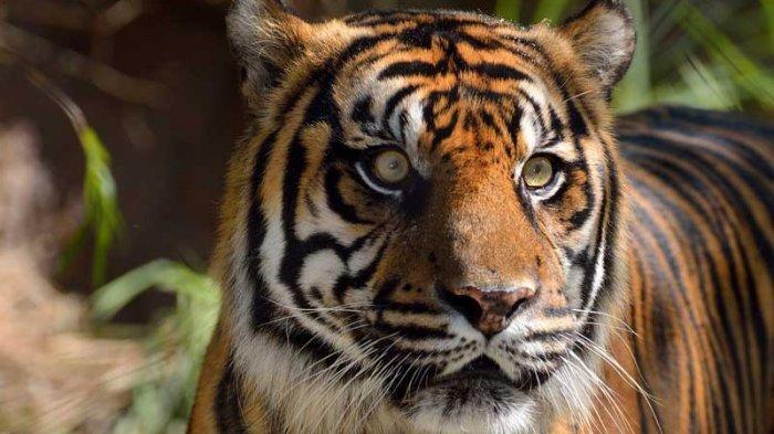 Tubuh Darmawan Tak Utuh Saat Ditemukan, Diterkam Harimau Saat Cari Kayu di Riau