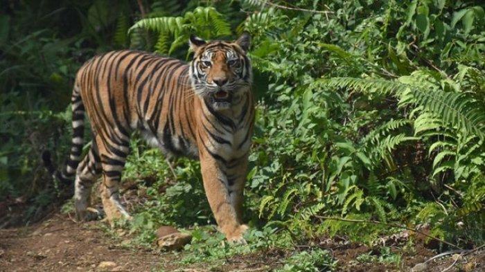 3 Ekor Harimau Muncul di Solok Selatan, Camat Minta Warga Kurangi Aktivitas di Ladang