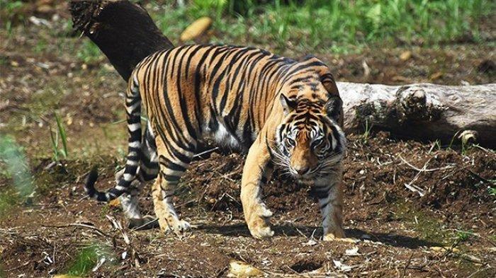 Ditemukan Jejak Kaki Harimau di Pemukiman, Warga di Pasaman Diberi Meriam untuk Mengusirnya