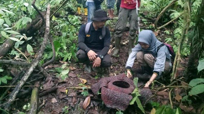 Bunga Rafflesia Kembali Ditemukan, Lokasi ke 14 Sebaran di Tanjung Raya Kabupaten Agam Sumbar