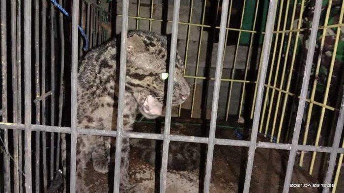 Breaking News - Macan Dahan Masuk Kamar Mandi Warga Pasaman Barat, Warga Mengira Harimau
