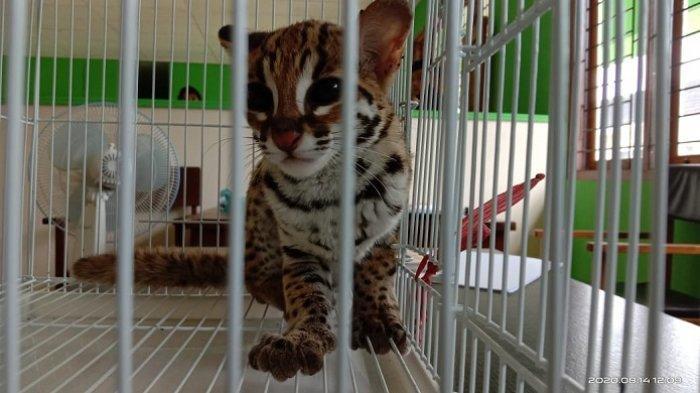 Kucing Langka Tiba-tiba Masuk Kamar Warga Agam, Penghuni Rumah Ketakutan, Dikira Anak Harimau