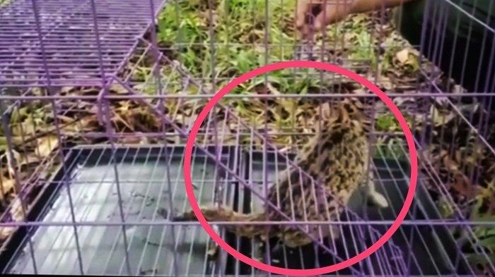 Kucing Kuwuk Nyasar di Halaman Rumah Warga Padang, Petugas BKSDA Lepasliarkan ke Habitat