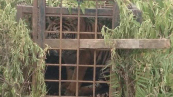 Satu lagi, harimau menyusul tertangkap di Kabupaten Solok, Sumatera Barat (Sumbar), Senin (7/12/2020).