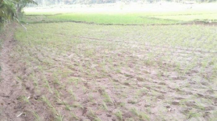 80 Hektar Sawah di Padang Diserang Hama Wereng, Petani Disarankan Tanam Padi Varietas Tahan Wereng