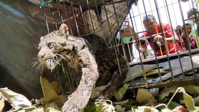 Macan Dahan yang Masuk Kamar Mandi Warga Pasaman Barat Dilepasliarkan BKSDA