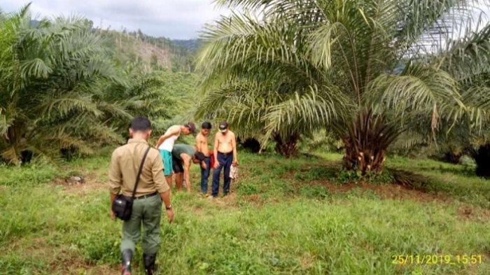 BREAKING NEWS: Harimau Sumatera Diduga Serang Sapi Milik Warga di Pasaman, Sumbar