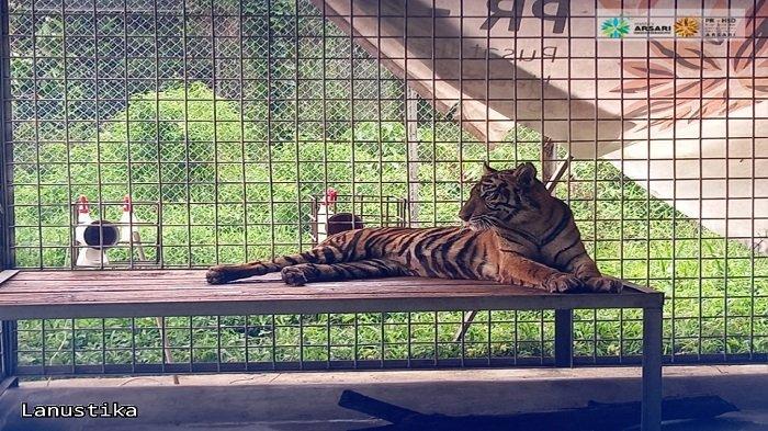 Harimau yang Serang Warga di Riau Tunjukkan Reaksi Berbeda, TidakMenghindar saat Didekati Petugas