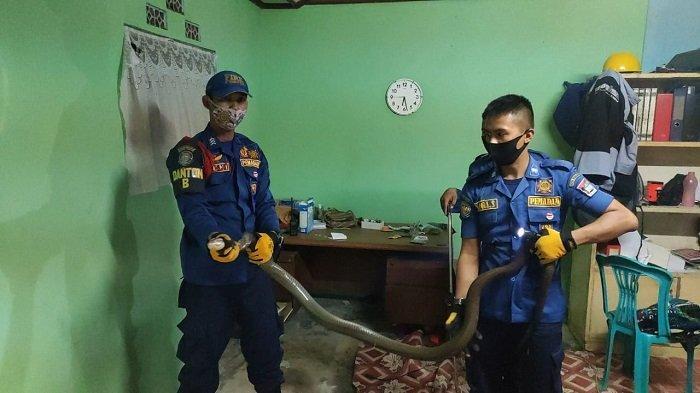 Ular Sepanjang 3 Meter Masuki Rumah Warga Kota Padang, Tim Damkar Tangkap di Dekat Meja Belajar