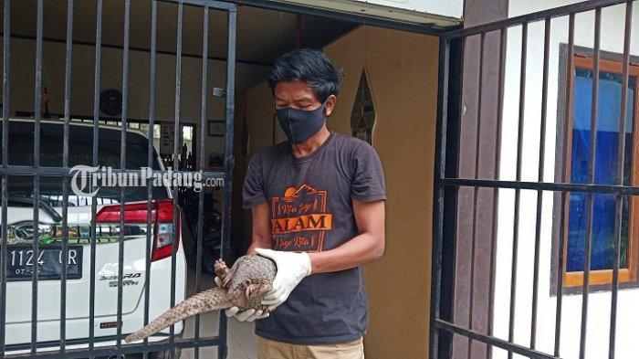 Warga Padang Selamatkan Trenggiling di Koto Tangah,BKSDA: Kita akan Jemput ke Lokasi untuk Evakuasi